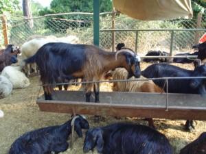 турецкие козы